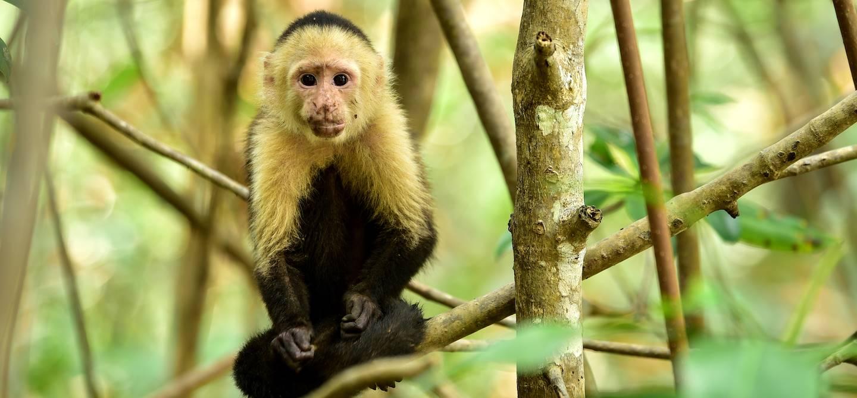 Sapajou capucin - Isla Damas - Costa Rica