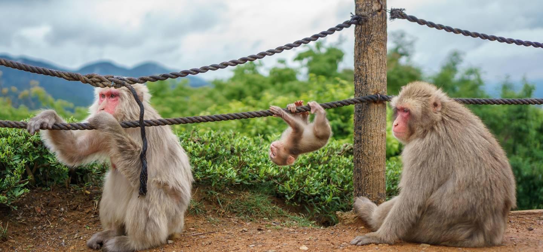 Parc aux singes - Kyoto - Japon