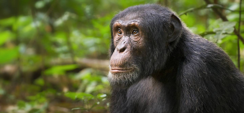 Chimpanzé - Parc National de Kibale - Ouganda