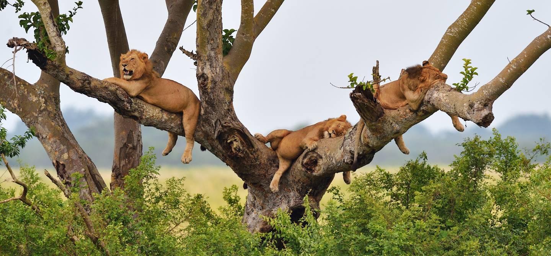 Lions - Parc national Queen Elizabeth - Ouganda
