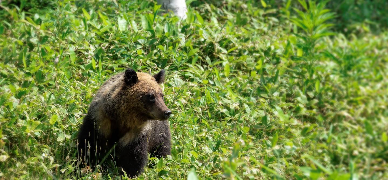 Ours brun dans le parc national de Shiretoko - Hokkaido - Japon