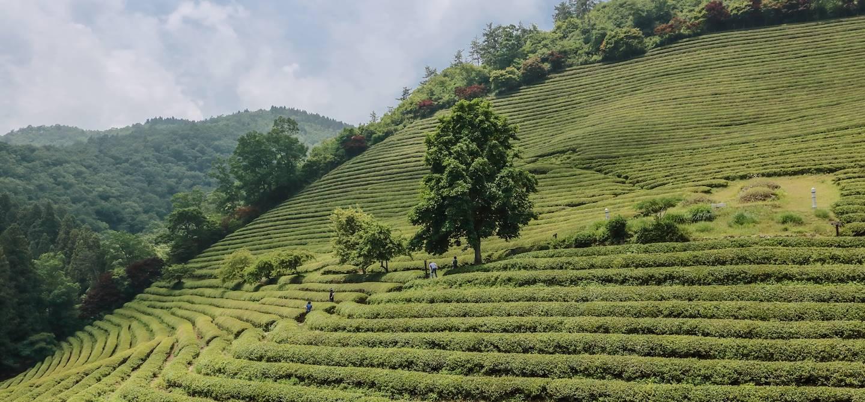Plantation de thé Daewon à Suncheon - Corée du Sud