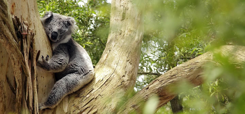 Koala - Australie