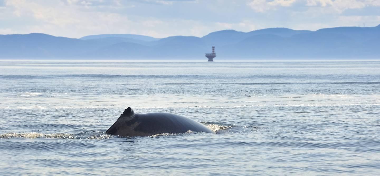 Baleine - Fleuve Saint Laurent - Canada
