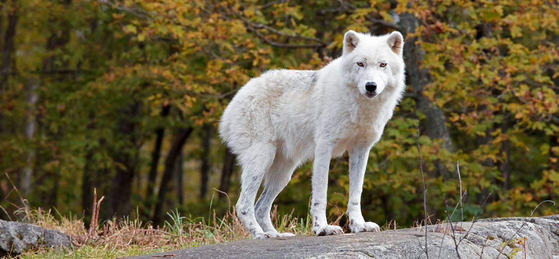 Loup blanc dans le parc Oméga - Montebello - Outaouais - Québec - Canada