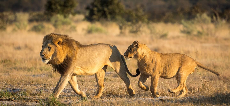 Félins dans le parc animalier de Savuti - Botswana