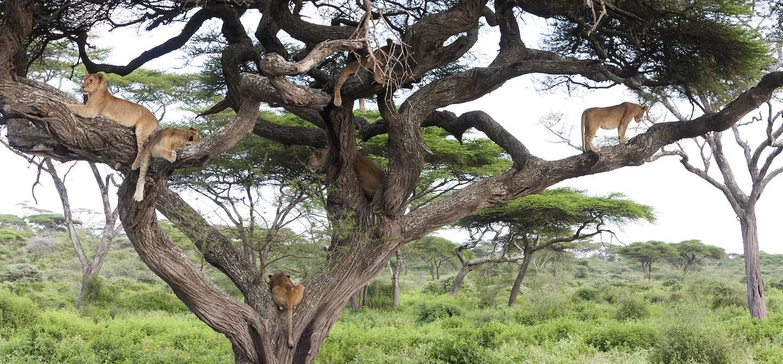Lionnes dans le parc du Selous - Tanzanie