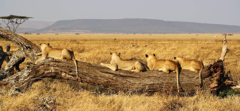 Lionnes observatrices - Parc du Serengeti - Tanzanie