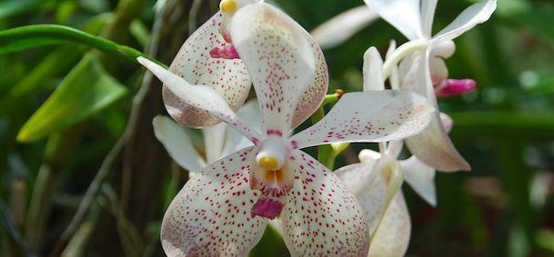 Jardins botaniques de Peradeniya
