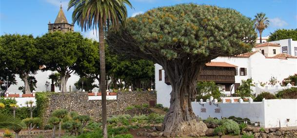 Dragonnier millénaire - Tenerife