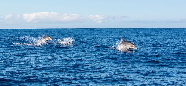 Baleines et dauphins Madère