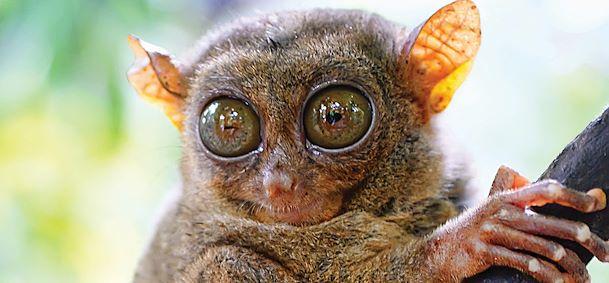 Singes tarsiers