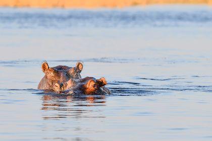 Hippopotame - Parc national de Chobe - Bostwana - ©Robert Styppa - stock.adobe.com