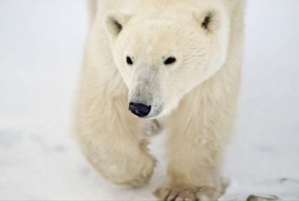 Ours polaire - Churchill - Manitoba - Canada - Commission canadienne du tourisme