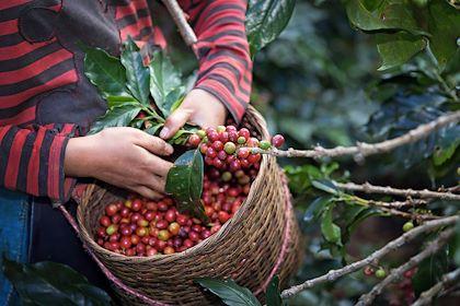 Récolte de café en Colombie - Kamonrat/Stock.adobe.com