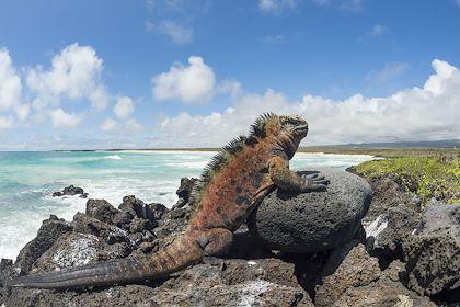 Iguane marin sur l'île Santa Cruz, archipel des Galapagos - Equateur - Minden/hemis.fr