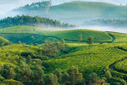 Plantations de thé à Munnar - Kerala - Inde - Ninelutsk/Stock.adobe.com