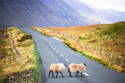 Moutons traversant la route - Irlande - Offfstock/fotolia.com