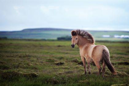 Cheval islandais - Deserttrends/fotolia.com