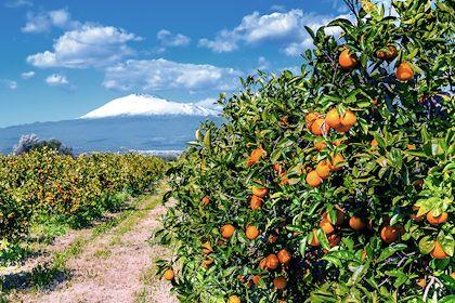 Orangers devant l'Etna - Sicile - Italie - Majonit / Stock.adobe.com