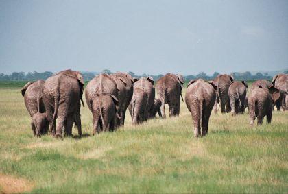 Troupeau d'éléphant dans le Tsavo - Vanessa Lourdin