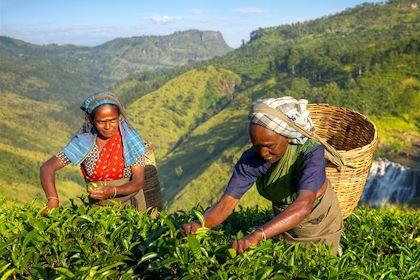 Femmes récoltant du thé - Inde - Rawpixel/fotolia.com