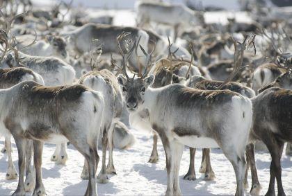 Troupeau de rennes - Norvège - C.H./Visit Norway