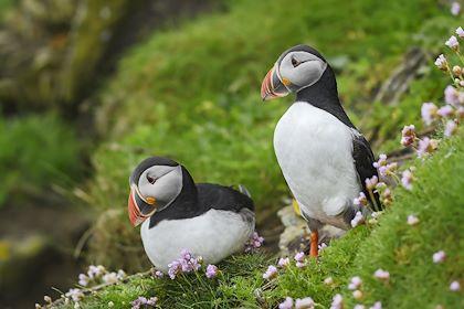 Couple de Macareux moine - Îles Shetland - Écosse - Royaume-Uni - David/stock.adobe.com