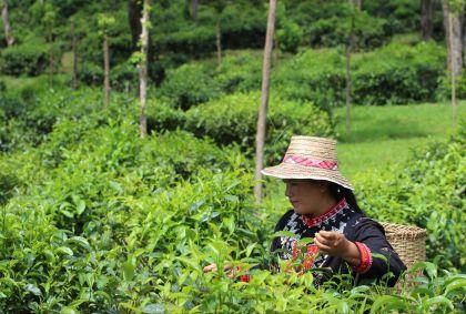 Plantation de thé d'Araksa - Thaïlande - V. Villet et M. Schawlb
