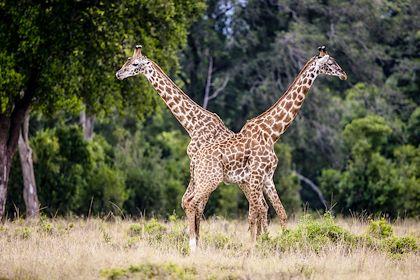 Girafes dans la réserve nationale du Masai-Mara - Réserve du Masai Mara - Kenya - DENIS-HUOT Michel / hemis.fr