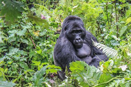 Gorille dans le parc national de la forêt impénétrable de Bwindi - Ouganda - Valentin Poitte