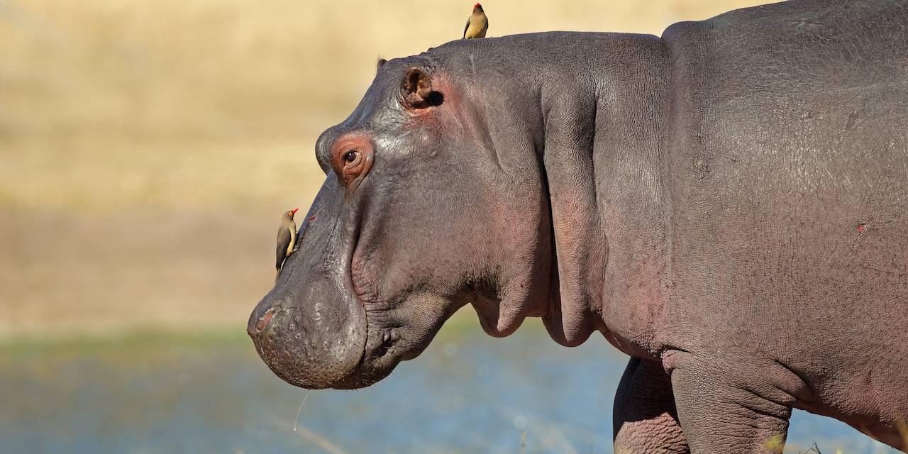 Hippopotame - Parc national du Liwonde - Malawi