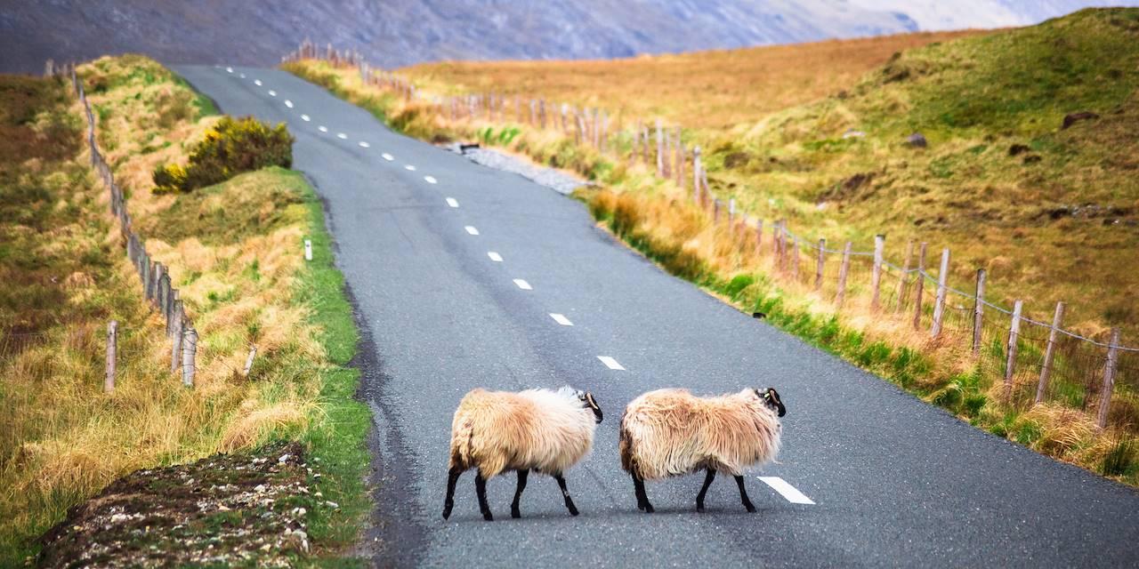 Moutons traversant la route - Irlande