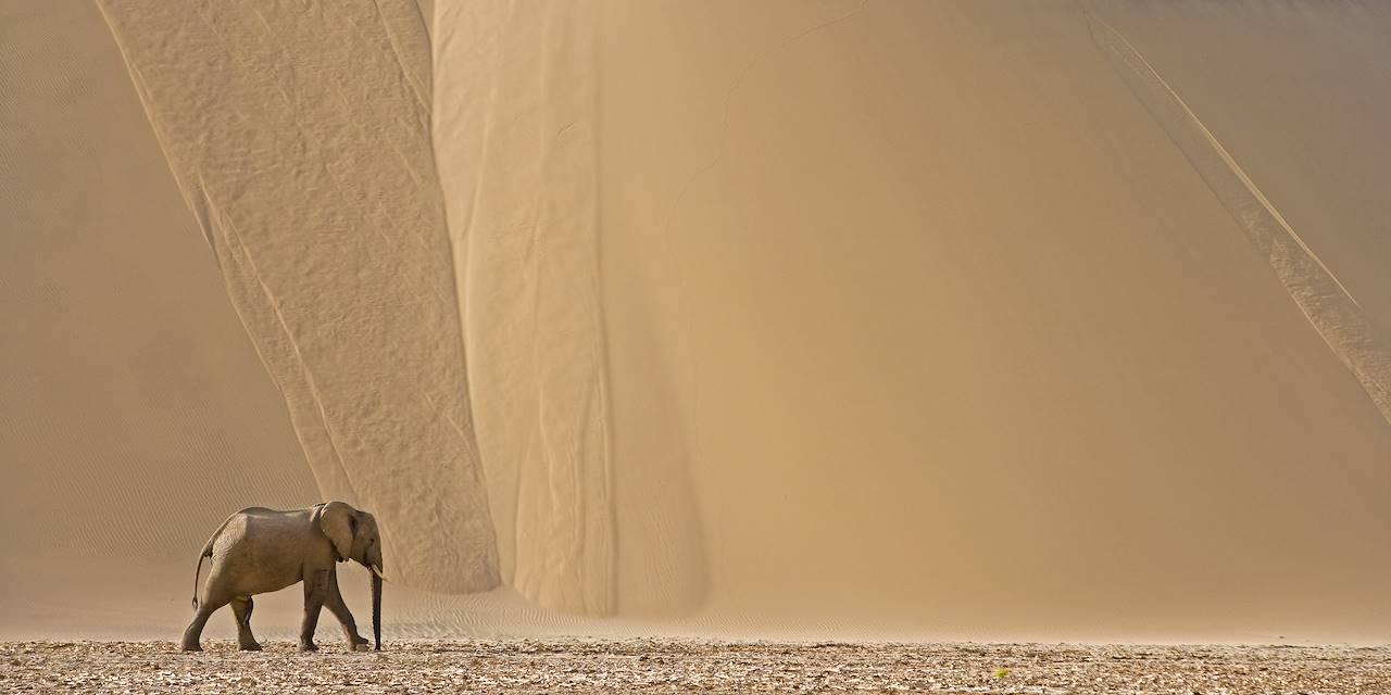 Elephant dans le désert du Namib - Namibie