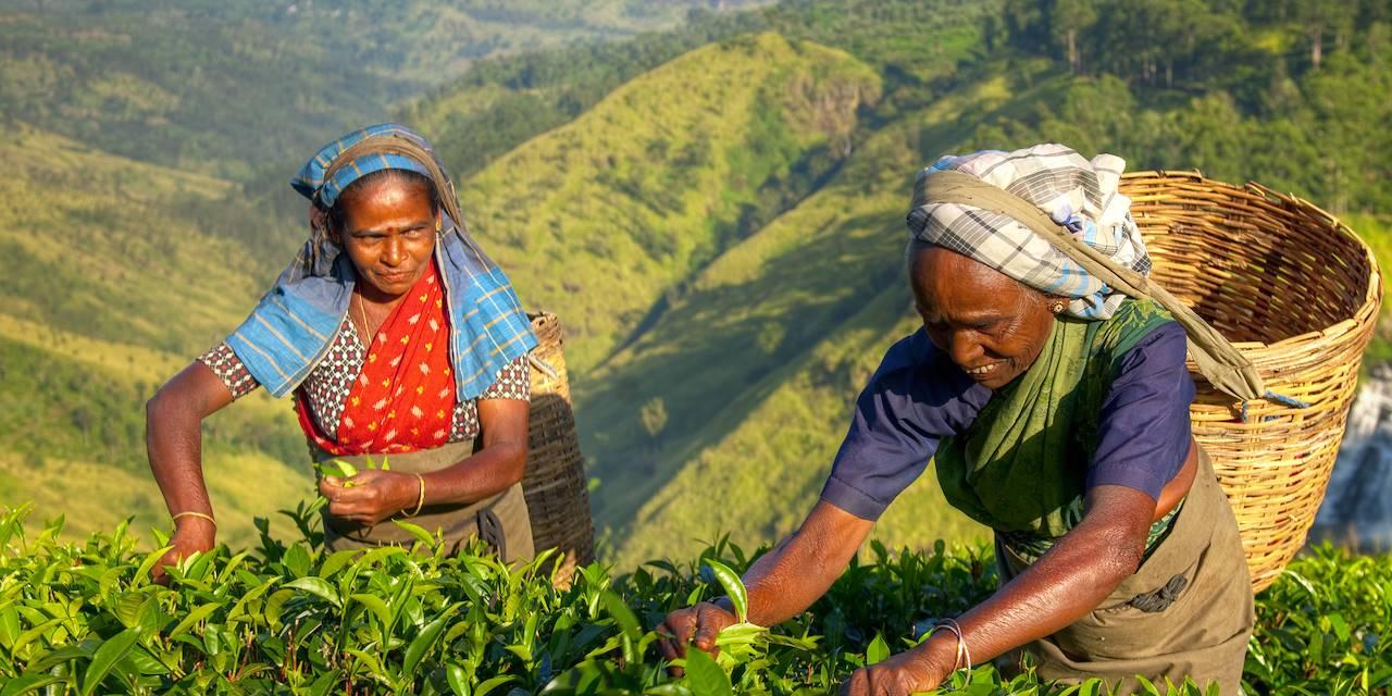 Femmes récoltant du thé - Inde