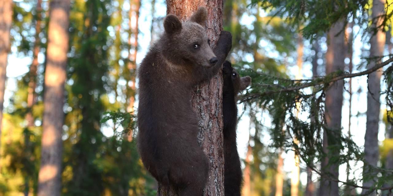 Ours brun - Suomussalmi - Finlande