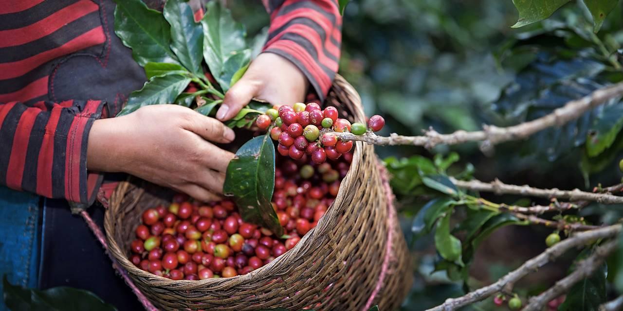 Récolte de café en Colombie