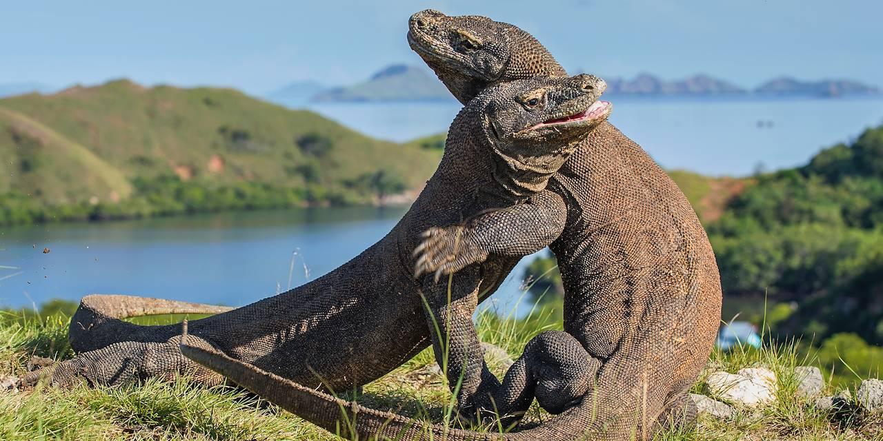 Dragon de Komodo - Île de Rinca - Indonésie
