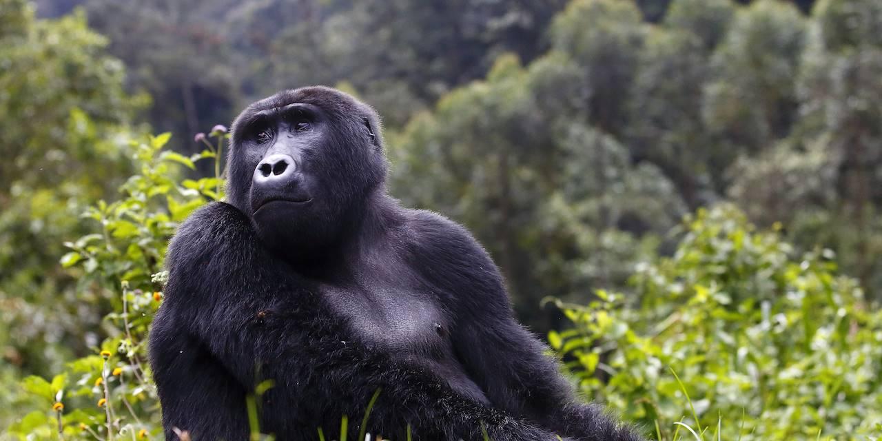 Femelle gorille - Ouganda