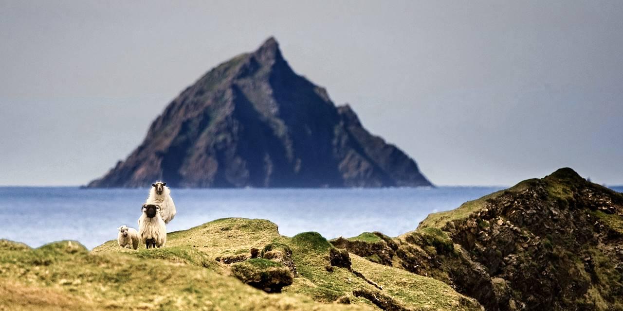 Moutons dans la province de Munster - Irlande