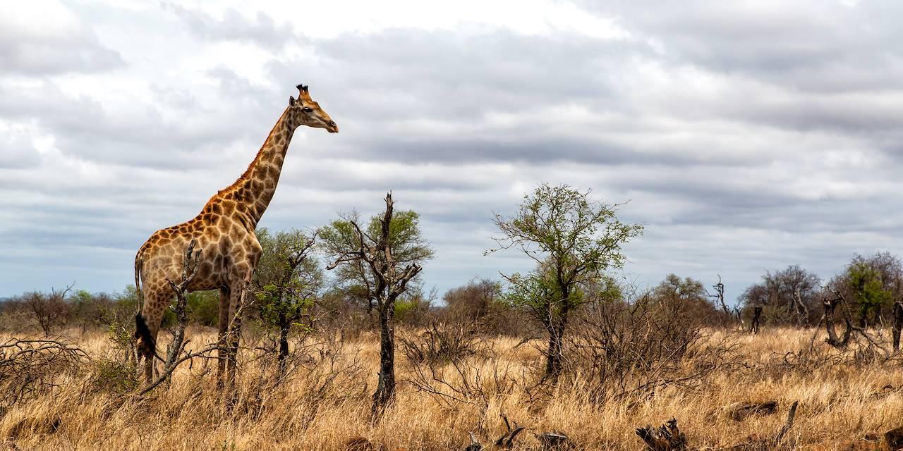 Girafe - Parc national Kruger - Afrique du Sud
