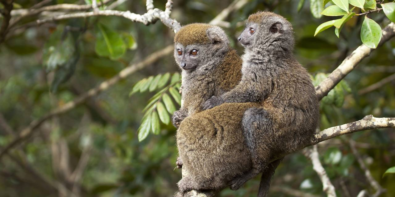 Couple de lémuriens hapalémur - Madagascar